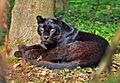 Panthère Noire.jpg