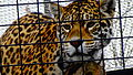 Panthera onca - jaguar - Zoologique Paris 09.JPG