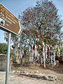 Paphos-tree.jpg