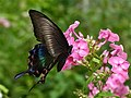 Papilio maackii, Hokkaidō, Japan 02.jpg