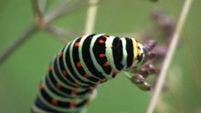 Datei:Papilio machaon - caterpillar.ogv