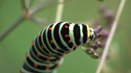 Bestand:Papilio machaon - caterpillar.ogv