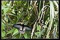 Papilionidae (10779680226).jpg
