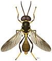 Parastratiosphecomyia freidbergi - ZooKeys-238-001-g001.jpeg