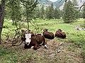 Parcours des fées (Crévoux) juillet 2020 (des vaches).jpg