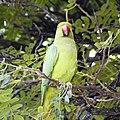Parrot behind Kawaiahao Church (26355992295).jpg