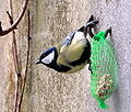 Parus major feeder.jpg