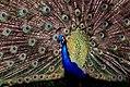Peacock (11179482454).jpg