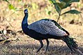 Peacock (181632919).jpeg