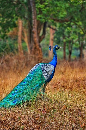 Peafowl - The Royal beauty of the jungle