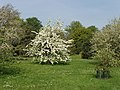 Pear tree (Pyrus) in blossom, Kew Gardens - geograph.org.uk - 166662.jpg