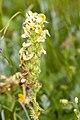 Pedicularis julica 04.jpg