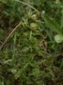 Pedicularis pal.jpg