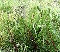Pelargonium triste - Kenwyn Nature Park - Cape Town - Leaf detail 2.jpg