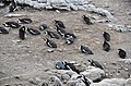 Penguin colony in Hermanus 16.jpg