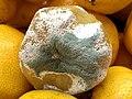Penicillium на мандарине.jpg