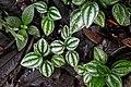 Peperomia aff. laxiflora (Piperaceae) (30224738075).jpg