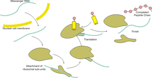 English: Overviw illustration of Protein Synthesis