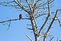 Peregrine Falcon (22848971024).jpg