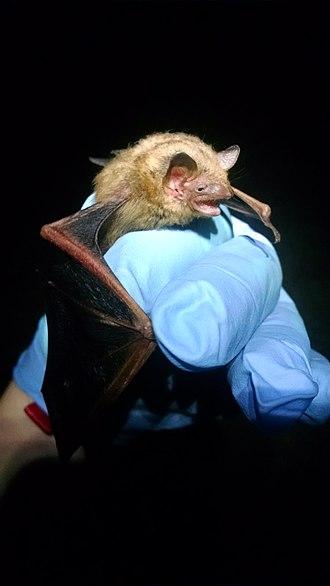 Tricolored bat - Image: Perimyotis subflavus picture
