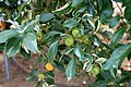 Pescia, Giardino degli agrumi hesperidarium, di oscar tintori vivai, 26 citrus madurensis foliis variegates.jpg