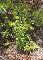 Petalostigma pachyphyllum shrub.jpg