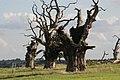Petrified Oaks, Mundon - panoramio.jpg