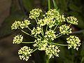 Petroselinum neapolitanum flower.jpg
