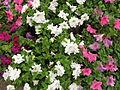 Petunia - Indian Botanic Garden - Howrah 2012-01-29 1779.JPG