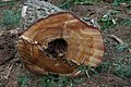 Phellinus weirii rot.jpg