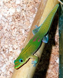 Gold dust day gecko (also known as Madagascar day geckos)