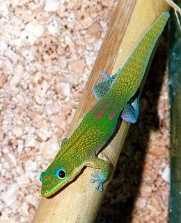 Gecko Lizard belonging to the infraorder Gekkota