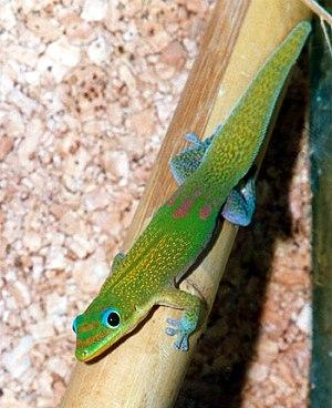 Gecko - Gold dust day gecko