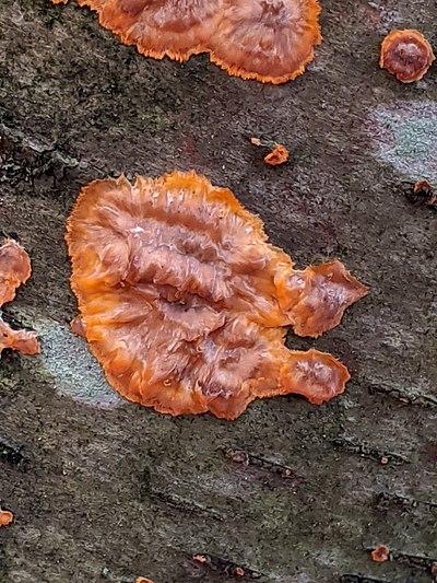 Phlebia radiata. New York State, 2015.