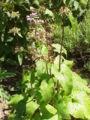 Phlomis herba-venti0.jpg