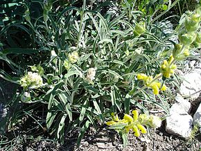 Description de l'image  Image:Phlomis lychnitis02.jpg .