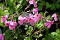 Phlox stolonifera Pink Ridge 1zz.jpg