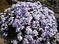 Phlox subulata 'Emerald Cushion blue' 1.JPG