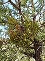 Phoradendron juniperinum kz02.jpg