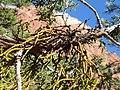 Phoradendron juniperinum kz07.jpg