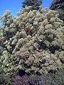 Photinia serratifolia CReal.jpg