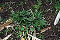Phyllostachys nigra 2zz.jpg