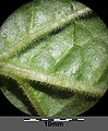 Physalis peruviana sl20.jpg
