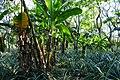 Piña bajo sombra - 49464933393.jpg