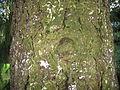 PiceaAbiesBark.jpg