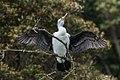 Pied Cormorant - Stewart Island - New Zealand (24293590687).jpg