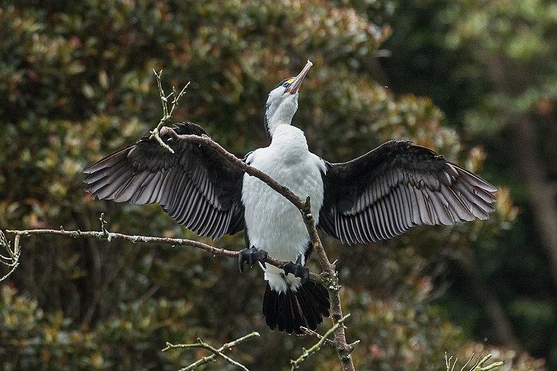 File:Pied Cormorant - Stewart Island - New Zealand (24293590687).jpg