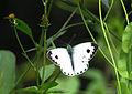 Pieris canidia.jpg