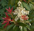 Pieris forest flame A.jpg
