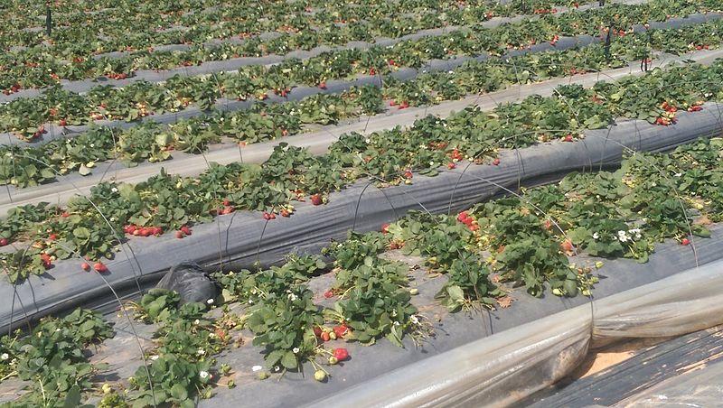 שדה תותים בשרון